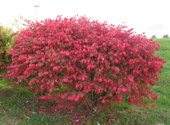 The Burning Bush Is Gorgeous But You May Not Know The Danger